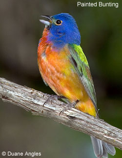 painted bunting from cornell lab of ornithology