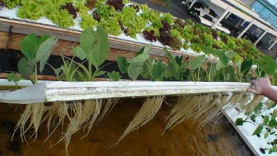 Aquaponics is the only modern agricultural technique that isn't dependent upon fossil fuels to be fully operational.