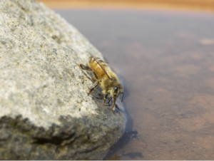 A bee drinking water.