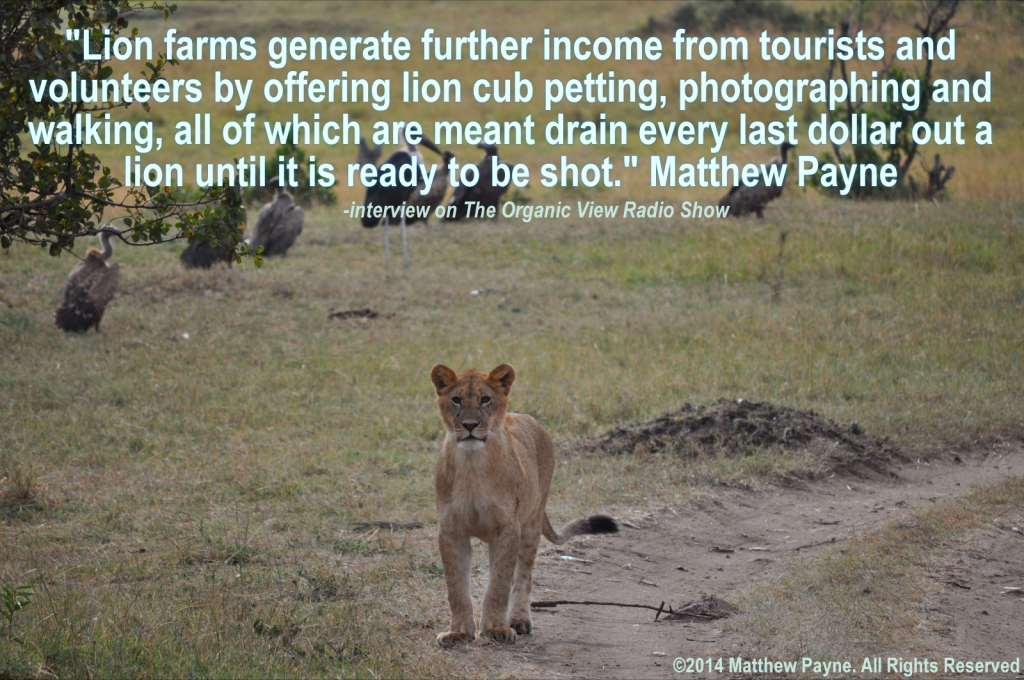 Lion farms generate further income from tourists and volunteers