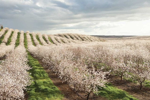 California almond groves