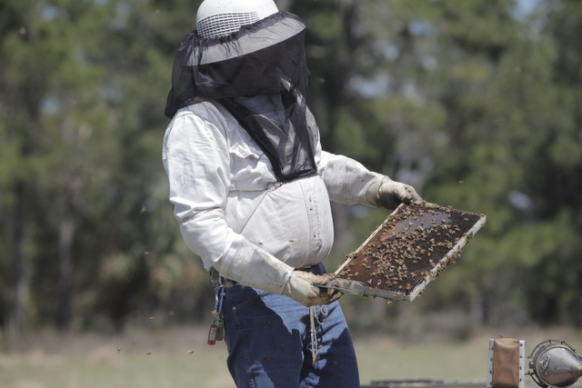 Commercial migratory beekeepers checking frames
