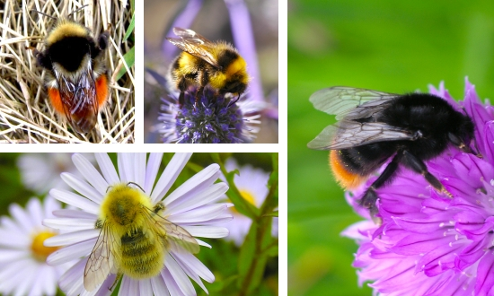 Please support the Bumblebee Conservation Trust. Every dollar helps!
