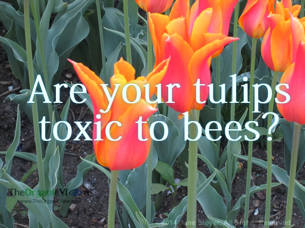 Are your tulips toxic to bees?
