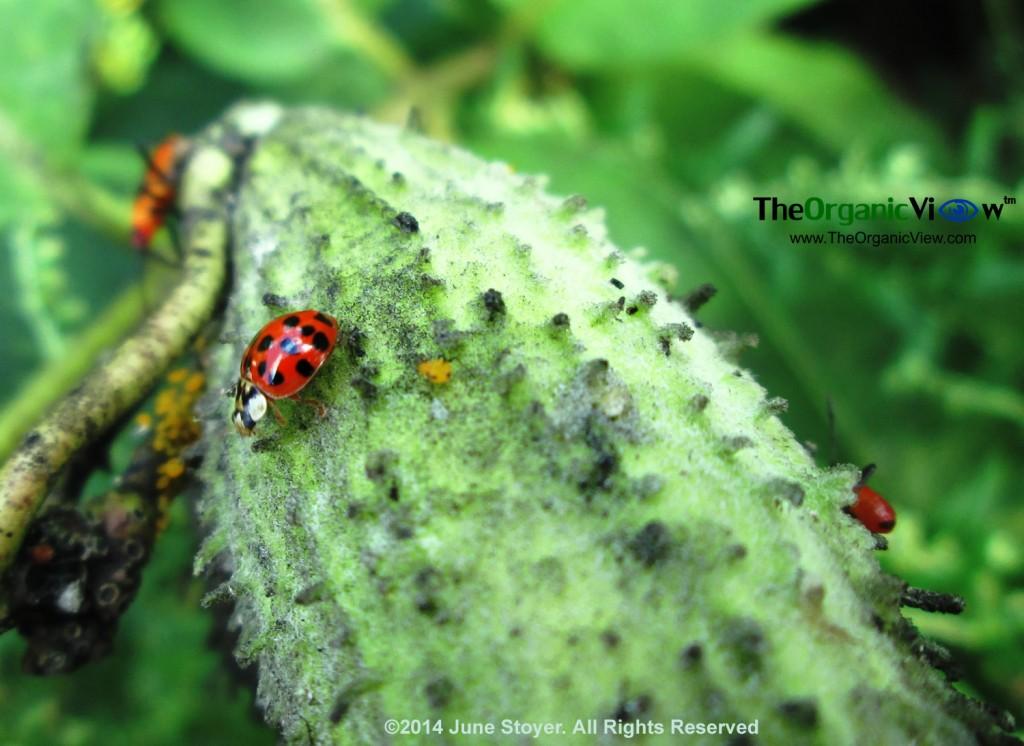Ladybug on milkweed follicle.