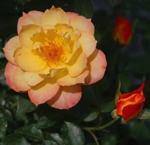 OSO EASY® Italian Ice Rose-Disease Resistant/Fragrant/Rebloomer-Proven Winners