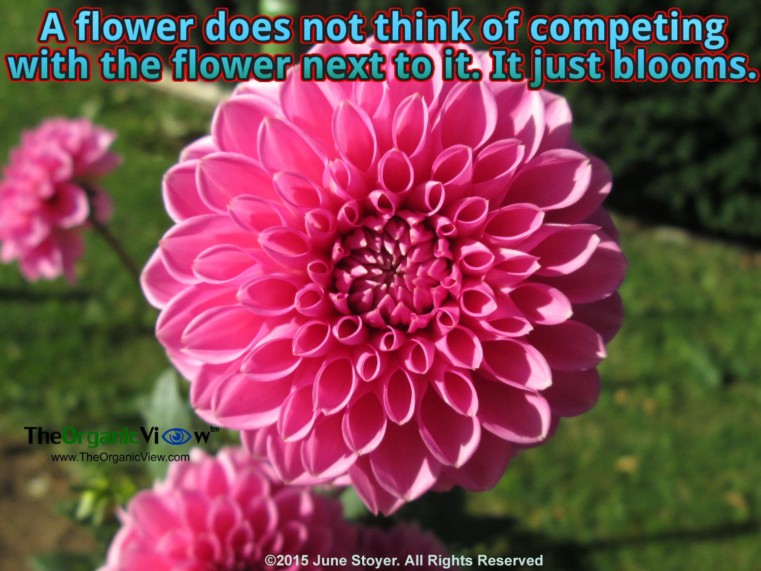 The american dahlia society turns 100 the organic view a flower does not think of competing with the flower next to it it just izmirmasajfo