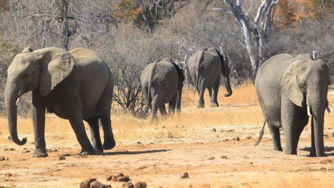 German Hunter Pays $60K To Kill Elephant