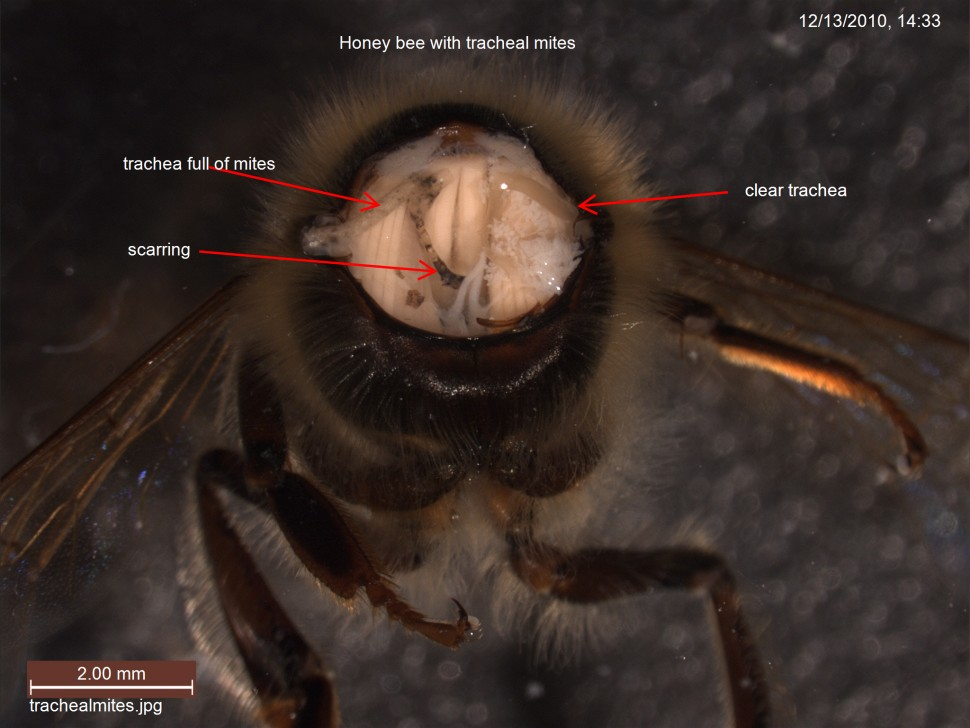 Tracheal mites